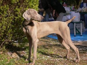 めずらしい犬,ワイマラナー.ドイツ犬で走るの速そう.