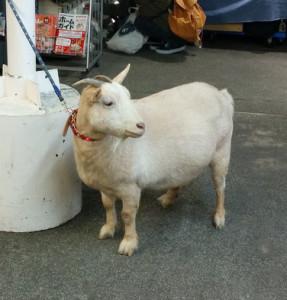 名物:ペットの山羊